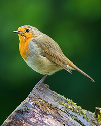 Young Robin � A M Oldacre